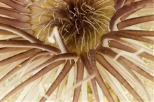Sea anemone (Ceriantheopsis americanus) closeup at Gray's Reef.