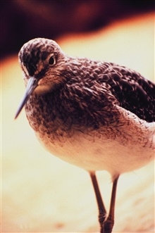 Limnodromus griseus  - a Short-billed Dowitcher