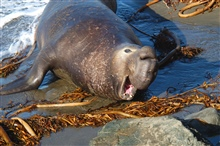 Northern elephant seal (Mirounga angustirostis).  An agressivemale voices his displeasure at being photographed.