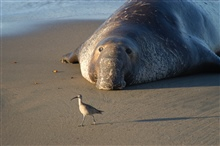 Northern elephant seal (Mirounga angustirostis).  A large male with characteristic proboscis dwarfs a shore bird.