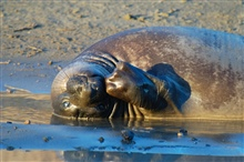 Northern elephant seal (Mirounga angustirostis).  A female lounging in cool damp sand.