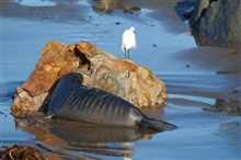 Northern elephant seal (Mirounga angustirostis).  Sneaking up onan egret.