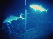 Amberjack within a camera grid frame on the deck of the U. S. S. MONITOR