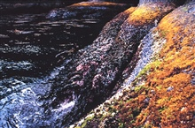 The rocky intertidal zone