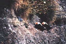 A pair of Tufted Puffins on a cliff