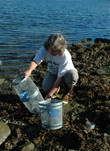 Mary Sue Brancato, Resource Protection Specialist for the OlympicCoast National Marine Sanctuary, is setting a trap to monitor for green crab,an invasive species.