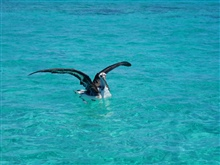 Juvenile albatross in the lagoon.