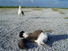 A dead albatross on an old runway.