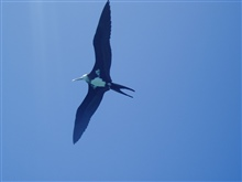 Iwa bird (frigate bird) soaring on the tradewinds.