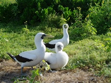 A masked booby family with snow-white chick.