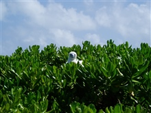 A red-footed booby peering over the bushes from its perch.