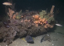 An ocean pout under the hide under the anemone covered woodenframes of the schooner Paul Palmer