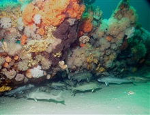 A group of cod hide under the anemone covered wooden frames of theschooner Paul Palmer
