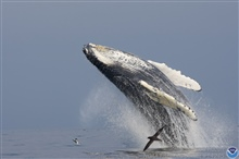 A soaring humpback whale at the beginning of its breach.