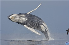 A humpback whale in a graceful arc as it begins its descent to the sea froma near vertical breach.