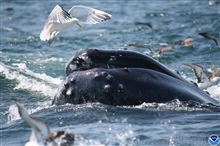 Humpback whale surfacing amongst marine birds getting out of theway.