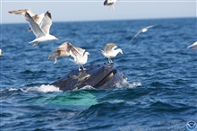 Seagulls landing on mouth of humpback whale.