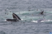Whales feeding.  Note the baleen used to strain krill and other smallbiota from huge volumes of water.
