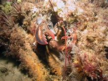 A northern lobster peers out from its hiding place in an invertebrate coveredshipwreck.