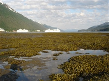 Looking over an algae covered tidal flat at low tide towards the Juneau cruiseship docks.