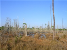 A freshwater marsh to the west of Bayou Heron Road at the Grand Bay NERR.
