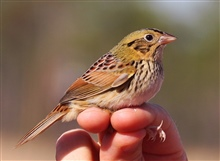 A Henslow's Sparrow caught during a bird survey at the Grand Bay NERR.