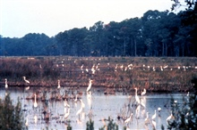 ACE Basin National Estuarine Research Reserve.  An impoundment onBear Island with many great egrets and common egrets.