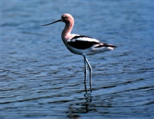 ACE Basin National Estuarine Research Reserve.  An Avocet wades in the shallows.