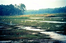 ACE Basin National Estuarine Research Reserve.  Egrets looking for their dinnersat the Bear Island impoundments.