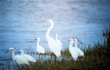 North Carolina National Estuarine Research Reserve.  A Great Egret and CommonEgrets.