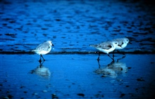 North Carolina National Estuarine Research Reserve.  Sanderlings patrolling theinter-tidal zone looking for a meal.