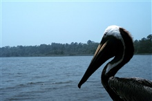 Weeks Bay National Estuarine Research Reserve.A brown pelican at Weeks Bay NERR.
