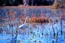 Weeks Bay National Estuarine Research Reserve.A great egret stalking its lunch amongst new cypress shoots.