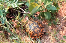 Waquoit Bay National Estuarine Research Reserve.Box turtle - Terrapene carolina carolina.
