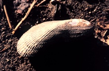 Waquoit Bay National Estuarine Research Reserve.Ribbed mussel - Geukensia demissa.