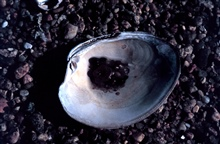 Waquoit Bay National Estuarine Research Reserve.Northern quahog - Mercenaria mercenaria.