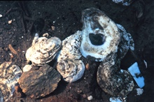 Waquoit Bay National Estuarine Research Reserve.Eastern oyster - Crassotrea virginica.