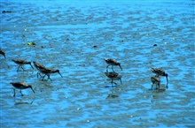 North Inlet - Winyah Bay National Estuarine Research Reserve.Tidal flats in estuaries are important foraging areas for shorebirds, includingthese dowitchers which use their long bills to probe the mud for worms andother invertebrates.