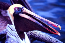 North Inlet - Winyah Bay National Estuarine Research Reserve.The eastern brown pelican has made a remarkable comeback after facing nearextinction in the 60's due to the effects of pesticides.  Still classified asthreatened in South Carolina, pelicans