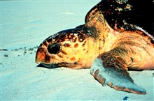 North Inlet - Winyah Bay National Estuarine Research Reserve.Loggerhead sea turtles nest on South Carolina beaches from May to August.  Adult and juvenile sea turtles can be observed in South Carolina estuariesduring most months of the year where the