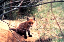 Narragansett Bay National Estuarine Research ReserveRed fox - Vulpes vulpes.  This animal was noted in Rhode Island  by the first settlers as it was mentioned by Roger Williams in 1643in his work A Key into the Language of America.