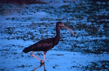 Narragansett Bay National Estuarine Research ReserveGlossy ibis - Plegadis falcinellus.  Hope Island provides a safe haven for thisspecies for breeding.