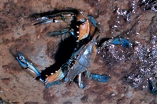 Narragansett Bay National Estuarine Research ReserveThe blue crab - Callinectes sapidus - is one of many species of crabs found in fRhode Island waters.