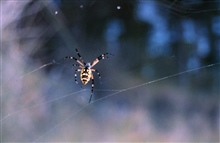 Grand Bay National Estuarine Research Reserve.Approx. 4-inch banana spider, web crossing small bayou within NERR.