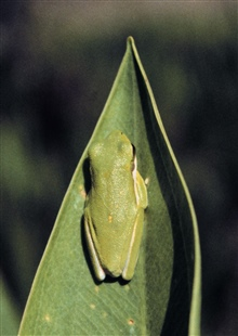 Grand Bay National Estuarine Research Reserve.Green tree frog (Hyla cinerea) in cypress depression. 1998.
