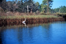 Grand Bay National Estuarine Research Reserve.Great White Heron in Bayou Cumbest.
