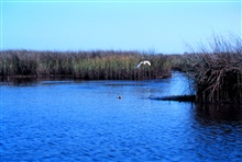 Grand Bay National Estuarine Research Reserve.Great White Heron - small bayou off Crooked Bayou.