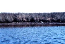 Grand Bay National Estuarine Research Reserve.Great White Heron - Crooked Bayou.