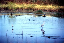 Grand Bay National Estuarine Research Reserve.Herons and cormorant - Bayou Cumbest.