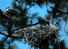 Grand Bay National Estuarine Research Reserve.Osprey and nest in Grand Bay NERR.